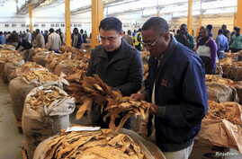 Buyers check the quality of tobacco during the last day of the selling season at Tobacco Sales Floor (TSF) in Harare, July 15, 2015.