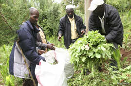 FILE - Police officers uproot poppy plants discovered on a farm in Njabini Kinangop, about 100 kilometers west of Nairobi, Kenya.