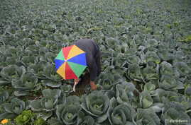 A farmer harvests broccoli in the town of al-Ansariyeh south of Sidon, Lebanon March 15, 2016.