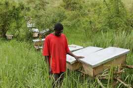 Latib Kalema stands beside the bee hives that have been preventing elephants from crossing to raid his crops, September 28, 2012. (H. Heuler/VOA)