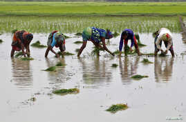 Farmers plant saplings in a paddy field in Allahabad, India, July 8, 2016.