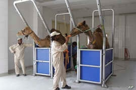A camel milk farm. Scientists have found a clue that suggests camels may be involved in infecting people in the Middle East with the MERS virus, July 3, 2013