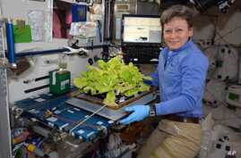 In this image posted to her Twitter feed on May 30, 2017, astronaut Peggy Whitson holds up Chinese cabbage grown in the International Space Station. During her third and latest mission, the 57-year-old biochemist became the oldest woman to have been