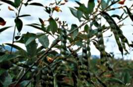 Pigeon peas can help reduce the need for synthetic fertilizer.