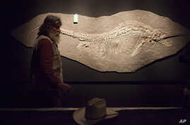 FILE - Robert Bakker, curator of paleontology, shows a fossil of a Ichthyosaur and unborn pups at the Houston Museum of Natural Science, May 15, 2012..