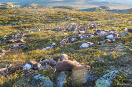 Dead wild reindeer are seen on Hardangervidda in Norway, after lightning struck the central mountain plateau and killed more than 300 of them, in this handout photo received on August 28, 2016. (Credit: Havard Kjotvedt/SNO/Miljodirektoratet/NTB Scanp