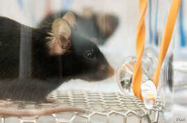 FILE - Scientists collected odor compounds from malaria-infected mice in glass jars. Credit: Nick Sloff, De Moraes & Mescher Research Group