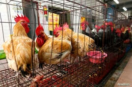 Chickens sit inside cages after a New Taipei City Department of Environmental Protection worker sprayed sterilizing anti-H7N9 virus disinfectant around chicken stalls in a market in New Taipei City,China, April 8, 2013.