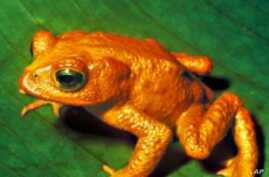 Hunt for Missing Frogs Leaps Across 5 Continents
