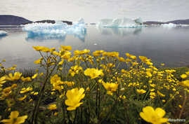 FILE - Wildflowers bloom on a hill overlooking a fjord filled with icebergs near Narsaq, Greenland.