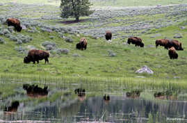 FILE - A herd of bison graze in Lamar Valley in Yellowstone National Park, Wyoming, June 20, 2011.