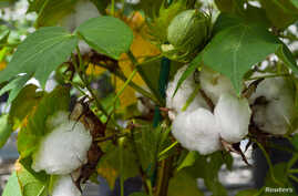 An experimental cotton plant is shown at a Texas A&M research facility in this handout image provided by the Texas A&M University College of Agriculture and Life Sciences in College Station, Texas, U.S., on October 17, 2018.