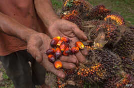 A palm oil farmer displays palm oil seeds in Kampar, Riau province, Aug. 20, 2018. Indonesian palm oil farmer Kawal Surbakti says his livelihood is under attack: The European Parliament is moving to ban the use of palm oil in biofuels.