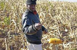A farmer picks his maize in a field  near the house and birth place of former South African President Nelson Mandela in Qunu, South Africa, Wednesday,  June 12, 2013. Former South African President Nelson Mandela remains in the hospital for a fifth d...