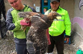In this photo taken in May 2018 in Ecuador and provided by Interpol on Wednesday, June 20, 2018, Ecuadorian police officers inspect a bird of prey.