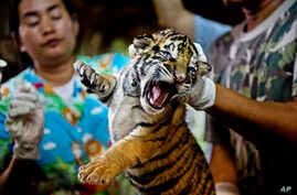 One of 16 tigers cubs seized from illegal wildlife trafficers. It is believed that this cub was reared in an illegal tiger farm in Thailand and destined for China, Oct. 26, 2012.