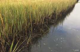 Salt marshes capture and store carbon dioxide from the atmosphere. Credit Ariana Sutton-Grier
