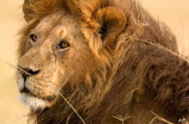 Indigestion Can Protect Africa's Lions