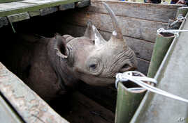 A female black Rhino stands in a box before being transported during rhino translocation exercise In the Nairobi National Park, Kenya, June 26, 2018.