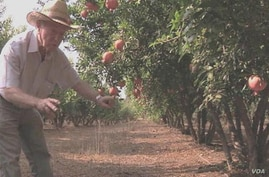 Irrigation pioneer Daniel Hillel checks his orchards near his home in Israel. (Courtesy World Food Prize)