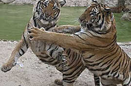 Thailand Uses Technology, Rangers to Protect Wild Tigers