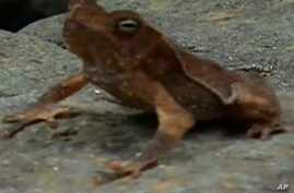 A fungus spread by the trade in amphibians has led to the extinction of about 120 species of frogs around the world.