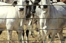 Australian Ranchers Welcome Lifting of Indonesia Cattle Ban