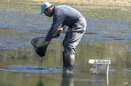 The Corbin family in Tennessee drains a pond to gather the fresh water shrimp, or prawns, they've been raising for the past five months.