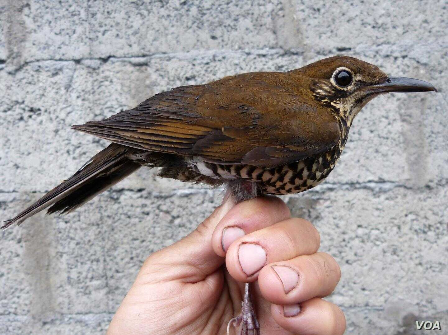 The Himalayan forest thrush was discovered in northeastern India and adjacent parts of China by a team of scientists from Sweden, China, the US, India and Russia. CREDIT