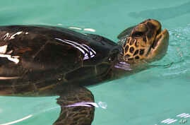 FILE - A rehabilitated green sea turtle comes up for air during a health check at Oceanworld Manly in Sydney, Australia, May 23, 2012.