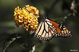 FILE - A monarch butterfly clings to a plant at the Monarch Grove Sanctuary in Pacific Grove, California, Dec. 30, 2014.