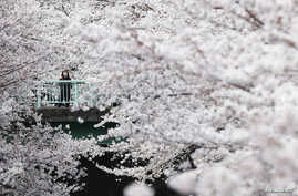 A woman looks at cherry blossoms in almost full bloom in Tokyo, Japan, April 1, 2016.