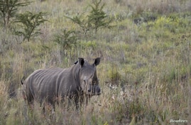 A White Rhino walks through scrub in the dusk light in Pilanesberg National Park in South Africa's North West Province, April 19, 2012.