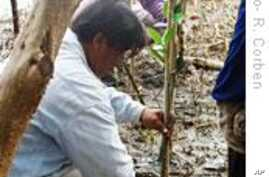 Thailand Steps Up Efforts to Reclaim Lost Mangroves