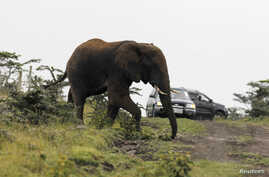 FILE - An elephant crosses the road while roaming around a Maasai settlement on the outskirts of Kenya's capital, Nairobi, July 18, 2012.