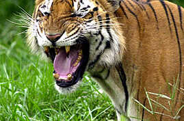 Interpol Joins Push to Save Asian Tigers