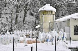 Officials in protective gears cull chickens in the snow at a poultry farm after a highly virulent strain of bird flu was detected in Yamagata in Gifu Prefecture, central Japan, in this photo taken by Kyodo, Jan. 15, 2017.