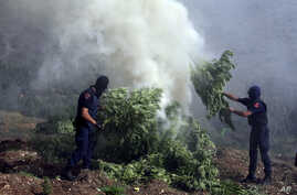 FILE- Masked police officers burn cannabis plants in Kurvelesh commune, 200 kilometers south of the Albanian capital, Tirana, Aug. 25, 2015.