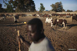 Cattle herder Adama Ouagalam tends to his animals where French troops are stationed fighting rebels, in Markala, Mali, January 2013.