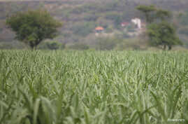 A sugar cane field is pictured in Zacatepec de Hidalgo, in Morelos state, Mexico, May 31, 2017.