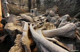 FILE - The fosilized bones of a mammoth are seen at the excavation site on May 17, 2016.