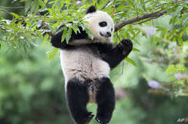 Panda cub Bao Bao hangs from a tree in her habitat at the National Zoo in Washington on her first birthday, Saturday, Aug. 23, 2014.