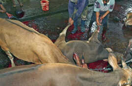 Australia Halts Most Cattle Shipments to Indonesia