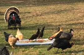 Every Saturday before Thanksgiving, the turkeys at Poplar Spring Animal Sanctuary in Poolesville, Maryland, get to enjoy a feast of cut-up fruit and vegetables.