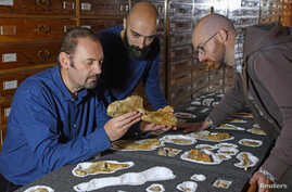 Paleontologist Cristiano Dal Sasso, left, and co-authors Simone Maganuco and Andrea Cau, right, examine the bones of the Jurassic dinosaur Saltriovenatorzanellai at the Natural History Museum of Milan, in this undated photo obtained by Reuters Dec.
