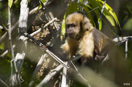Yellow breasted capuchin monkey at Una Biological Reserve in Bahia, Brazil, is a critically-endangered primate targeted by hunters for bush meat. (Photo / Luciano Candisani)