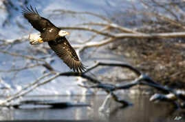 FILE - A bald eagle flies over the Des Moines River near Pella, Iowa., Jan 11, 2009. The head of the U.S. Fish and Wildlife Service is stepping down after a 14-month tenure in which he proposed broad changes to rules governing protections for thousan