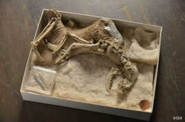 "A skeleton of a 30-million-year-old fossil dog, Archaeocyon (""ancient dog""), is seen in the American Museum of Natural History canid collection. The earliest dogs, going back 40 million years in North America, were animals no larger than a Chihuahua"