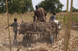 African farmers often use traditional means, and sometimes primitive equipment, to harvest crops. (ICRISAT)