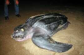 FILE - A leatherback turtle prepares to nest and lay her eggs in Playa Caletas on Costa Rica's northern Pacific coast, in this Aug. 3, 2004, handout photo from the Project for the Conservation of Marine Turtles (PRETOMA).
